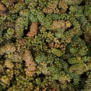 Vin Santo TerranuovaBracciolini2018-42