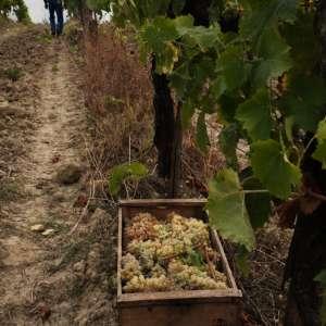 Vin Santo TerranuovaBracciolini2018-6